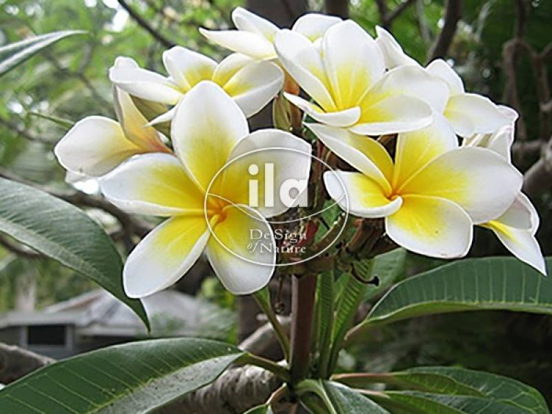 Plumeria, a Time-Travelling Flower