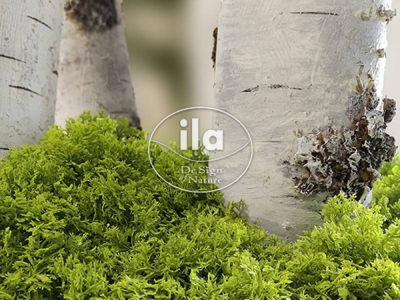 Iceland Lichen – The Gift of the ancient Gods